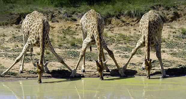 Amakhala - Giraffes drinking