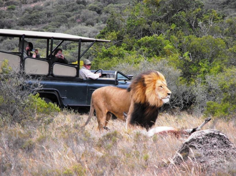 Amakhala - Papa Lion