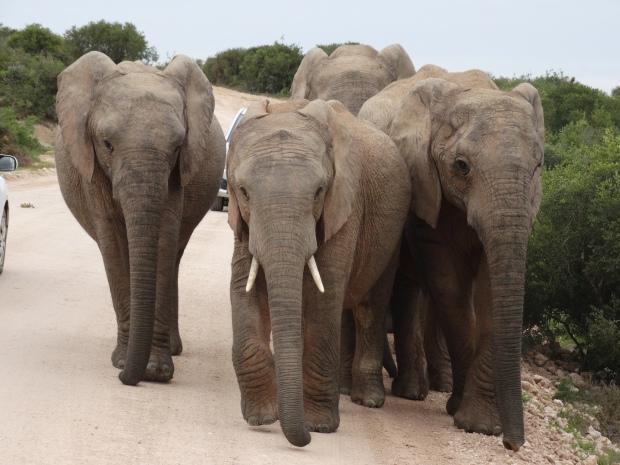 Addo olifantenfamilie tussen autos (12)