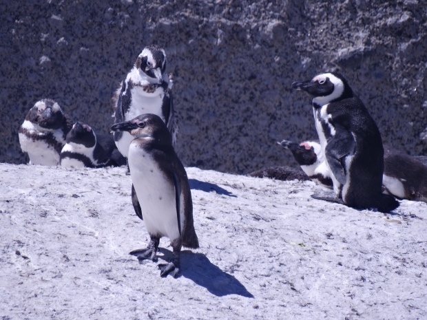 Boulders pinguins (34)