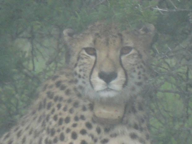 cheetah (17)