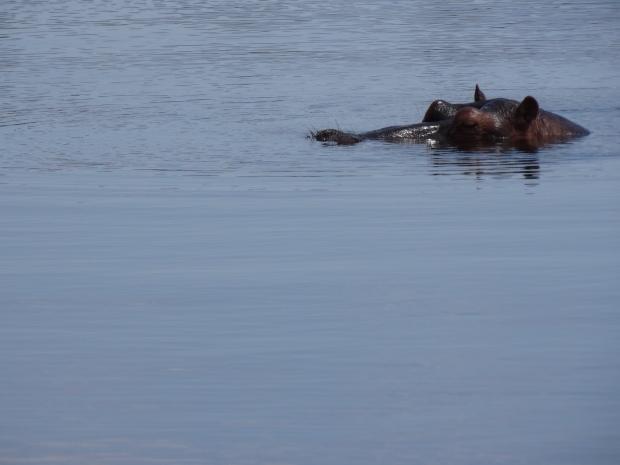 nijlpaard (3)
