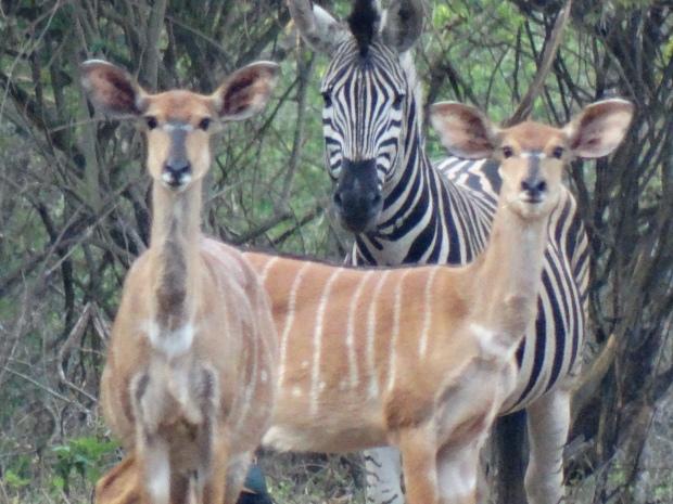 ochtendwandeling - zebra's dichtbij (12)