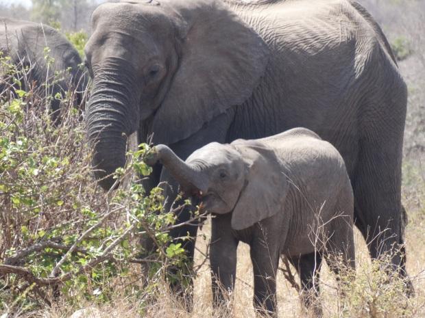 olifanten (9)