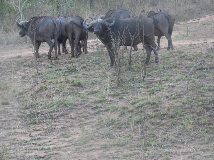 buffel (1)