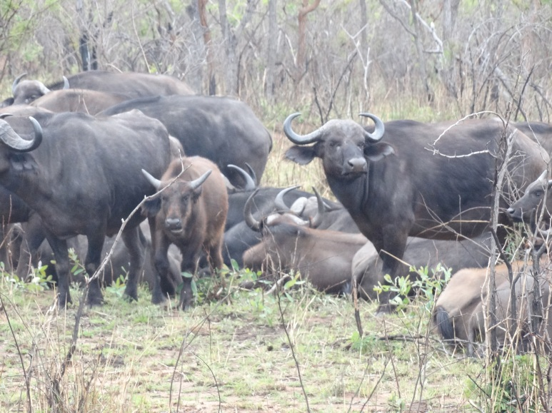 buffels (3)