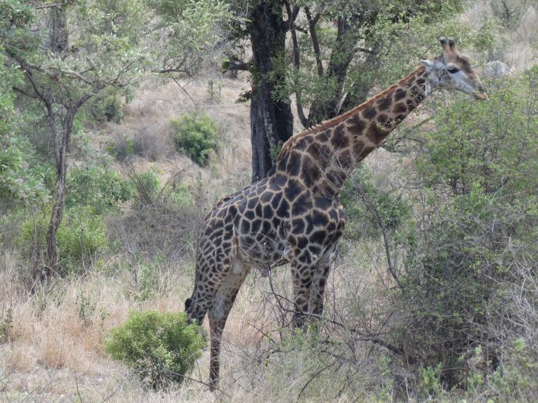 giraf (2)