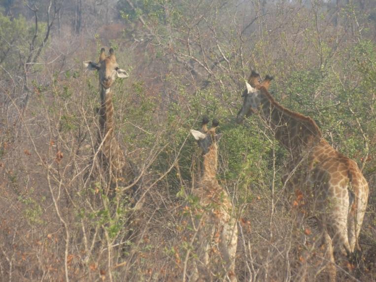 giraf (6)