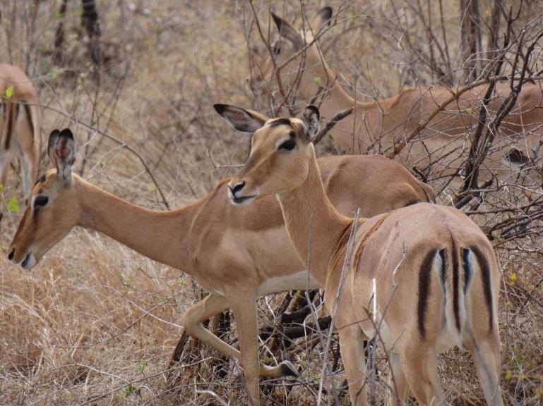 impalas (1)