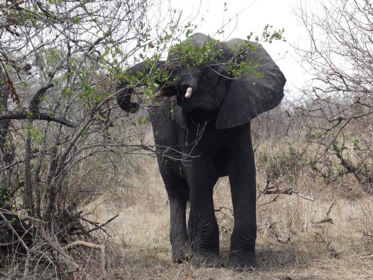 olifanten (26)