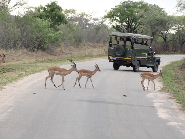 overstekende impalas (1)