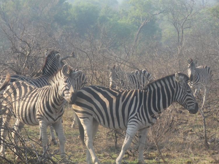 zebra (7)